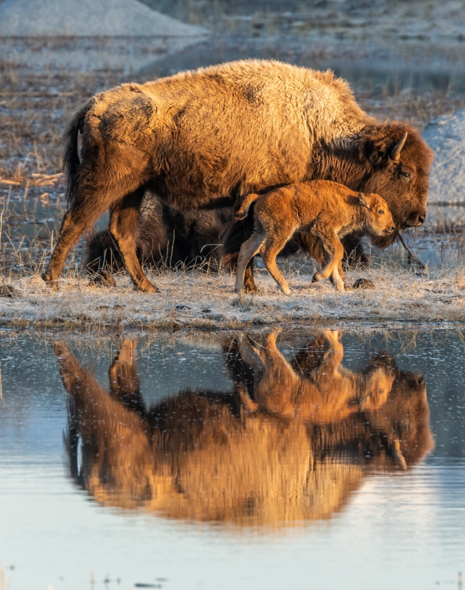 Photo of brown bison and calf with reflection in pond