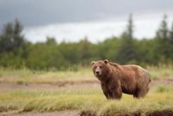 AK Grizzly Image