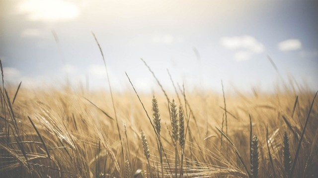 Close-up of wheat in a wheat field