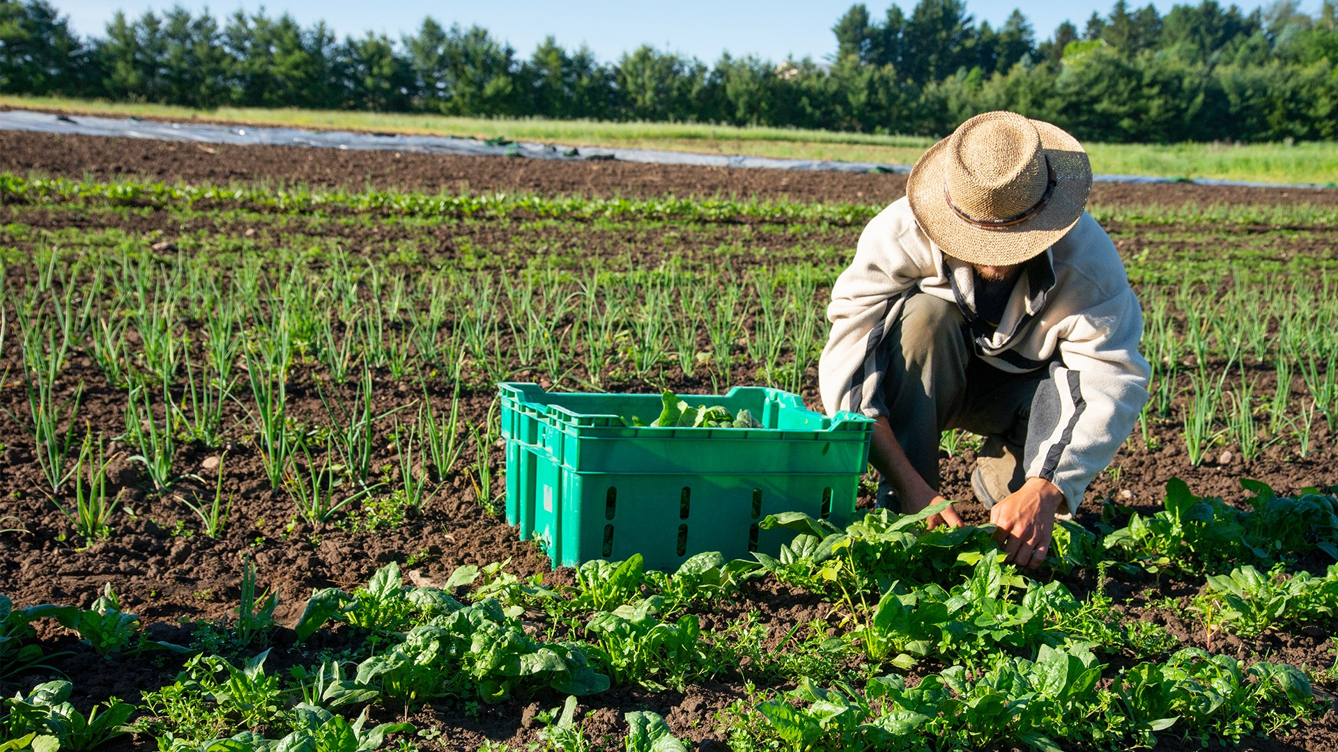 A farmer worker working in a vegetable field