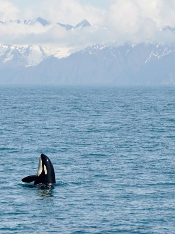An Orca peeking its head out of the water